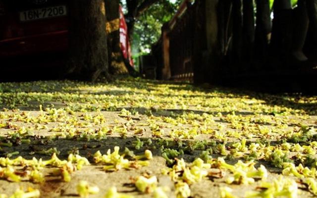 Tình yêu mùa hoa sữa : Mùa thu - mùa hoa sữa - mùa yêu thương - mùa của ông tơ bà nguyệt, mùa của những chiếc nhẫn cưới...